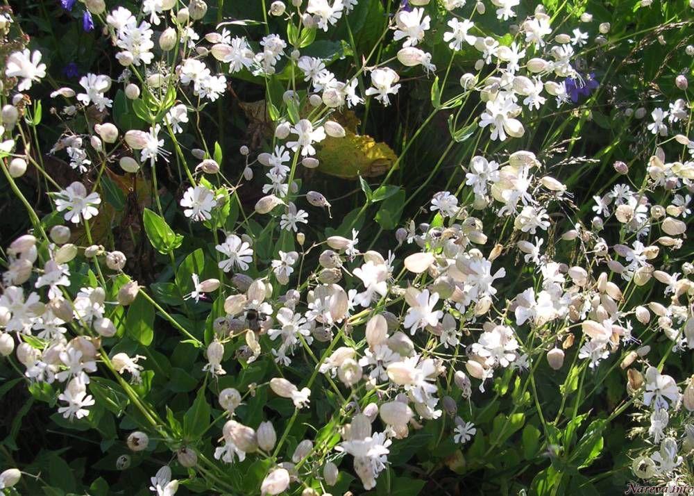 Fleurs de montagne - Arbuste a petites fleurs blanches ...